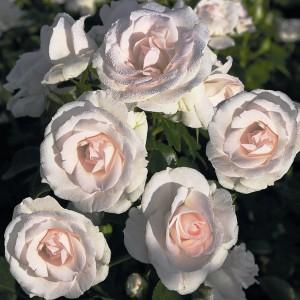 Fidan Burada - Aspirin® Rose Gül Fidanı- Özel Ürün