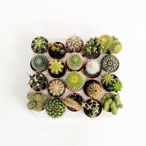 Kaktüs Seti -20 adet - İthal Koleksiyon - Thumbnail