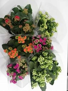 Fidan Burada - Karışık Renkli Kalanşo Çiçeği Seti Büyük Boy-Kalanchoe