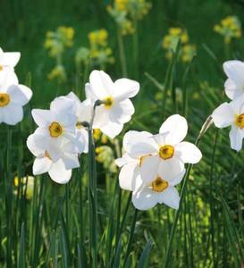 Fidan Burada - Actaea Nergis Soğanı-İthal-5 Adet