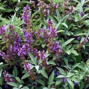 Fidan Burada - Adaçayı Bitkisi (Salvia officinalis)