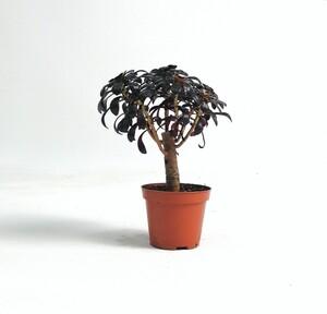 Fidan Burada - Aeonium Arboreum Atropurpureum