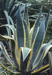 Agave-Sabırlık-Yüzyıl Bitkisi (Agave Americana) - Thumbnail