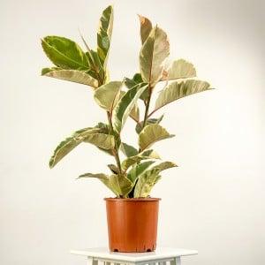 Fidan Burada - Alacalı Kauçuk Bitkisi-Ficus Elastica Tineke- 2 Gövdeli 80-100cm