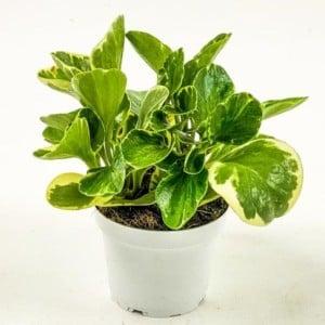 Fidan Burada - Alacalı Zümrüt Dalgası Bitkisi-Peperomia Obtusifolia Variegata
