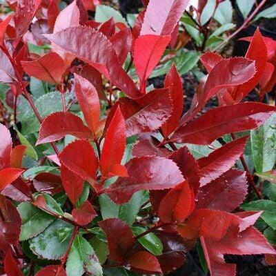 Alev Çalısı (Photinia Red Robin) 30-40 cm