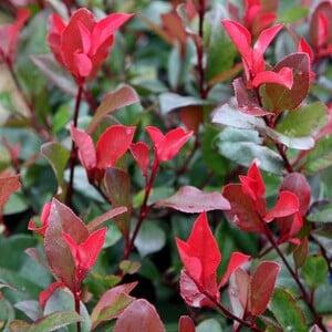 Fidan Burada - BODUR ALEV ÇALISI 30-40 Cm (Photinia Red Robin Nana)