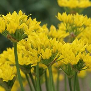 Fidan Burada - Allium Moly Çiçeği Soğanı-İthal-15 Adet