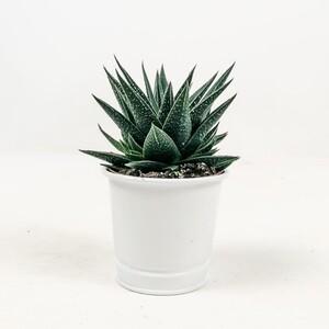 Fidan Burada - Aloe Hybrid Aristata Kaktüs