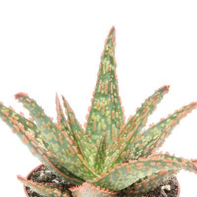 Aloe Vitro Succulent Beyaz Saksılı