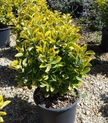 Fidan Burada - ALTUNİ TAFLAN (Euonymus Japonica Aurea)