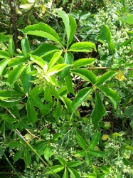 Fidan Burada - AMERİKAN SARMAŞIĞI (Parthenocissus Quinquefolia)