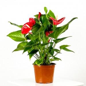 Fidan Burada - Antoryum Çiçeği-Flamingo Çiçeği-Anthurium-İthal