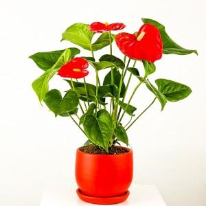 Fidan Burada - Antoryum Çiçeği - Curvy Kırmızı Saksılı 40-50cm