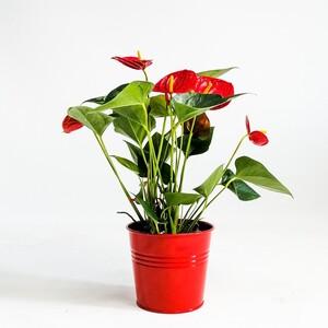 Ücretsiz Kargo - Antoryum Çiçeği-Flamingo Çiçeği-Kırmızı Dekoratif Saksılı