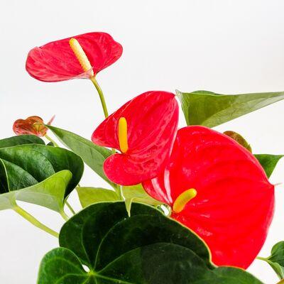 Antoryum Çiçeği-Flamingo Çiçeği-Kırmızı Dekoratif Saksılı