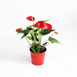 Antoryum Çiçeği-Flamingo Çiçeği-Kırmızı Dekoratif Saksılı - Thumbnail