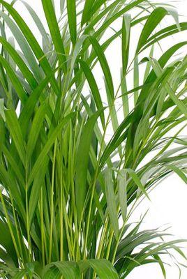 Areka Palmiyesi-Areca Dypsis Lutescens 130-150 Cm-İthal