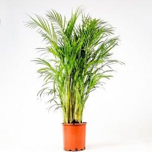 Fidan Burada - Areka Palmiyesi-Areca Dypsis Lutescens 120-140 Cm İthal Bitki