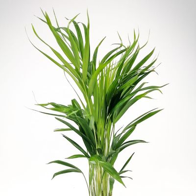 Areka Palmiyesi-Areca Dypsis Lutescens 70-90 Cm - İthal