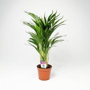 Fidan Burada - Areka Palmiyesi-Areca Dypsis Lutescens 70-90 Cm - İthal