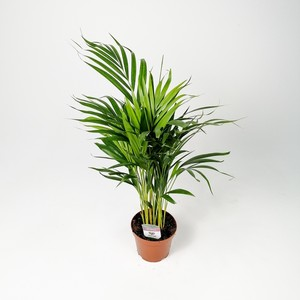 Areka Palmiyesi-Areca Dypsis Lutescens 70-90 Cm - İthal - Thumbnail