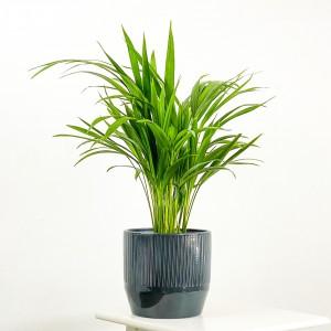 Fidan Burada - Areka Palmiyesi Antrasit Çizgili Seramik Saksılı 50-60cm