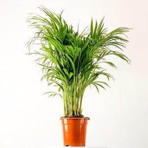 Fidan Burada - Areka Palmiyesi-Areca Dypsis Lutescens 100-120cm