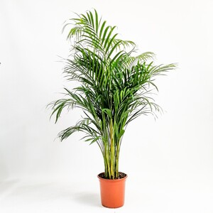 Fidan Burada - Areka Palmiyesi-Areca Dypsis Lutescens 140-160 Cm-İthal