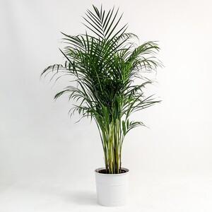 Fidan Burada - Areka Palmiyesi-Areca Dypsis Lutescens 140-160 Cm Dekoratif Saksılı