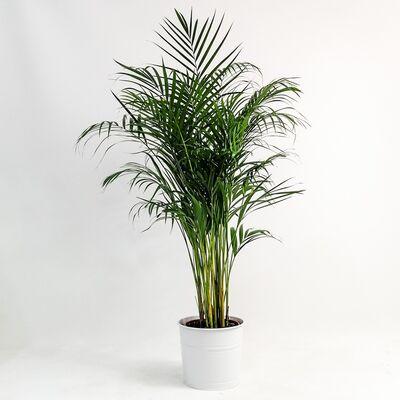 Areka Palmiyesi-Areca Dypsis Lutescens 140-160 Cm Dekoratif Saksılı