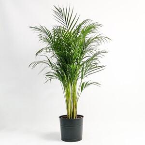 Areka Palmiyesi-Areca Dypsis Lutescens 140-160 Cm Dekoratif Saksılı - Thumbnail