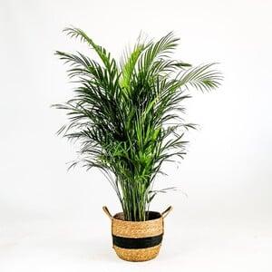 Areka Palmiyesi-Areca Dypsis Lutescens 140-160 Cm - Nacho Siyah Hasır Saksılı - Thumbnail