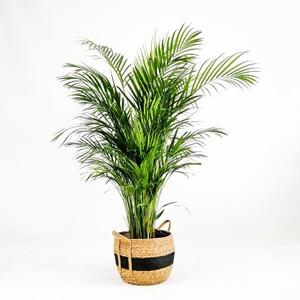 Fidan Burada - Areka Palmiyesi-Areca Dypsis Lutescens 140-160 Cm - Nacho Siyah Hasır Saksılı