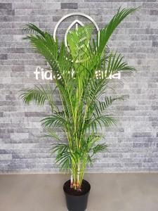 Fidan Burada - Areka Palmiyesi-Areca Dypsis Lutescens 180-200 Cm- İthal