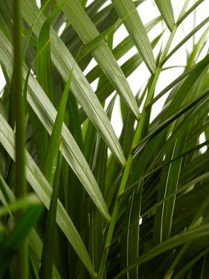 Areka Palmiyesi-Areca Dypsis Lutescens-200 Cm- İthal