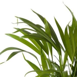 Areka Palmiyesi-Areca Dypsis Lutescens-30 Cm-İthal-Mini Boy - Thumbnail