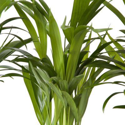 Areka Palmiyesi-Areca Dypsis Lutescens-30 Cm-İthal-Mini Boy