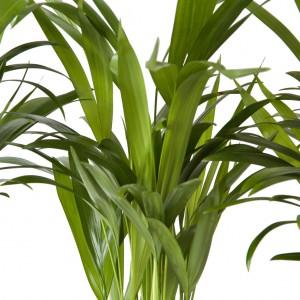 Areka Palmiyesi-Areca Dypsis Lutescens-Mini Boy -İthal - Thumbnail