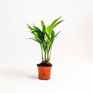 Fidan Burada - Areka Palmiyesi-Areca Dypsis Lutescens-Mini Boy -İthal