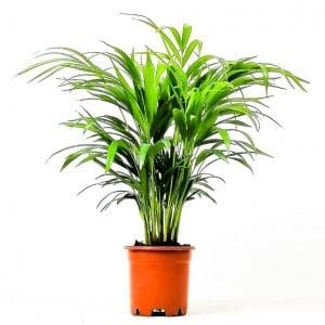 Fidan Burada - Areka Palmiyesi-Areca Dypsis Lutescens 60-80 Cm