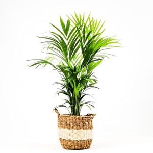 Fidan Burada - Areka Palmiyesi-Areca Dypsis Lutescens- 80-90cm Beyaz Hasır Saksılı