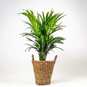 Fidan Burada - Areka Palmiyesi-Areca Dypsis Lutescens- 80-90cm Derin Hasır Saksılı