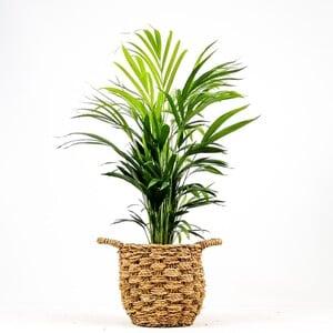 Fidan Burada - Areka Palmiyesi-Areca Dypsis Lutescens- 80-90cm Desenli Hasır Saksılı