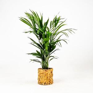 Fidan Burada - Areka Palmiyesi-Areca Dypsis Lutescens- 60-80 Rolyn Hasır Saksılı