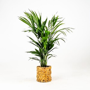 Ücretsiz Kargo - Areka Palmiyesi-Areca Dypsis Lutescens- 60-80 Rolyn Hasır Saksılı