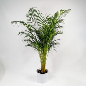 Fidan Burada - Areka Palmiyesi-Areca Dypsis Lutescens 160-180 Cm- İthal