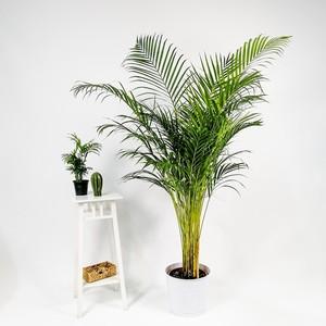 Fidan Burada - Areka Palmiyesi-Areca Dypsis Lutescens 150-170 Cm- İthal