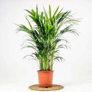 Fidan Burada - Areka Palmiyesi - Salon Palmiyesi 100cm