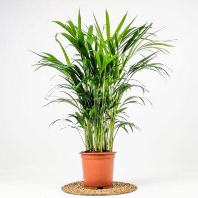 Areka Palmiyesi - Salon Palmiyesi 100cm